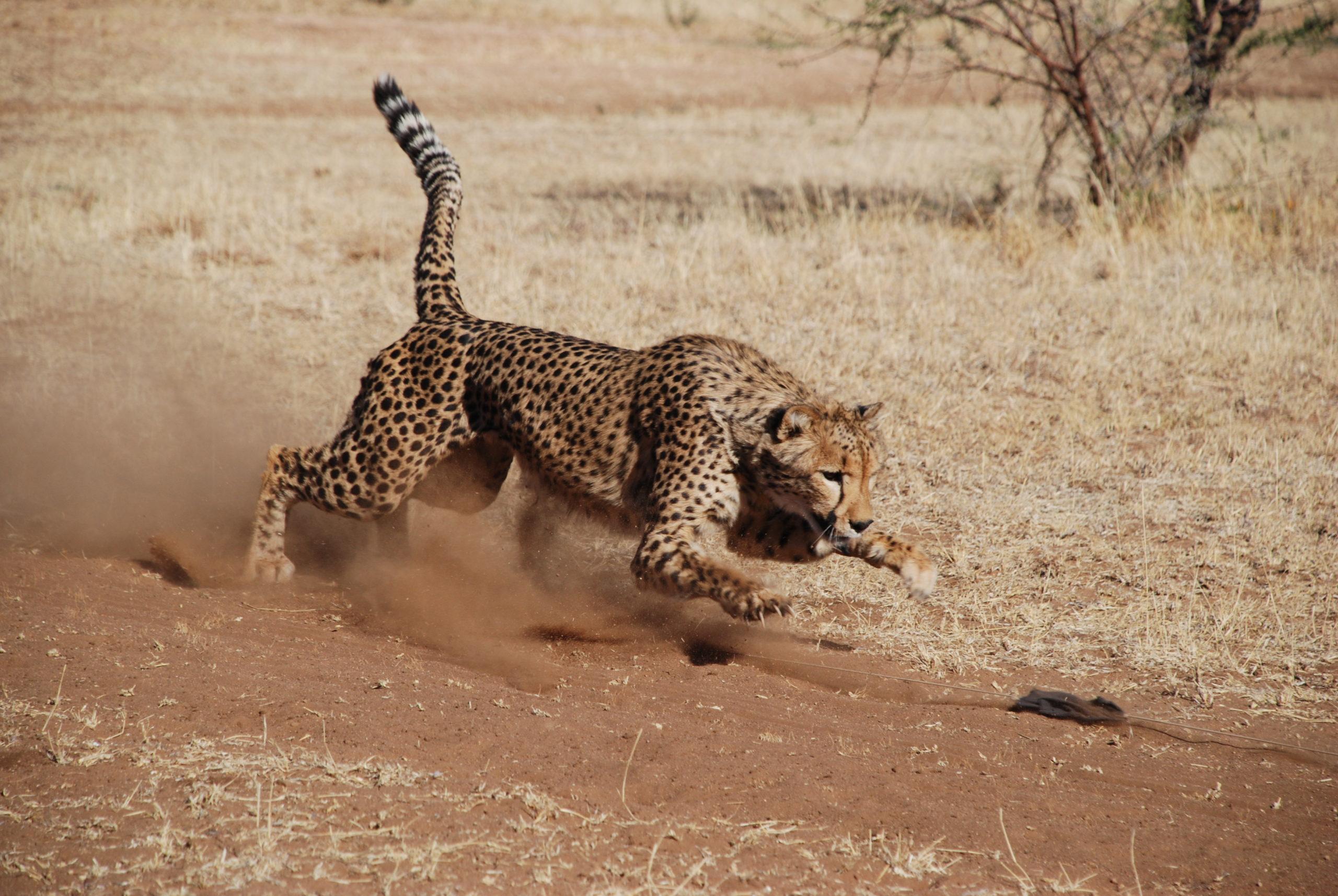 Cheetah chasing the lure at CCF