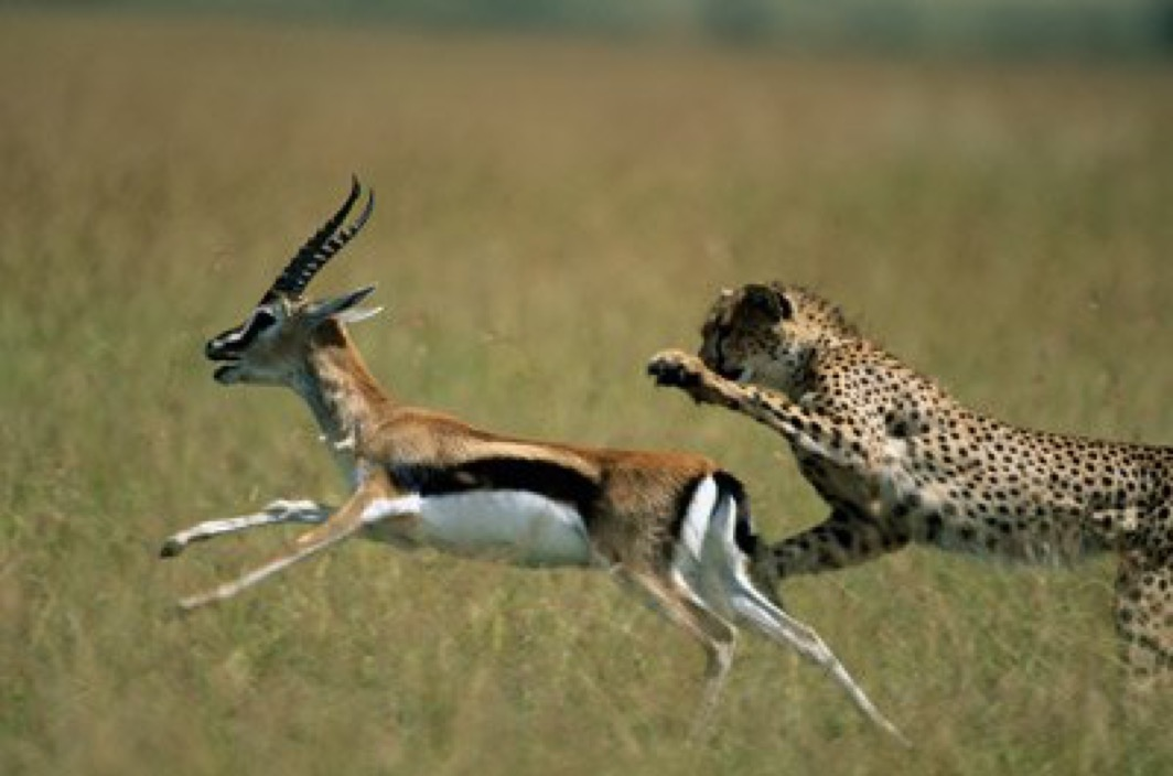 Cheetah versus Impala: Each has a Competitive Edge