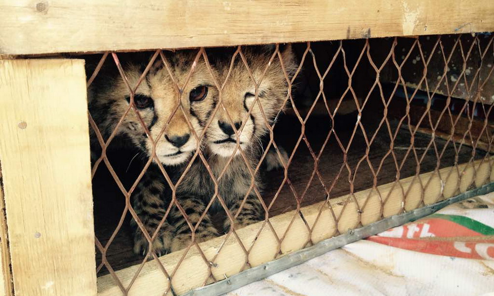 Spotlight on Cheetahs in the Illegal Pet Trade