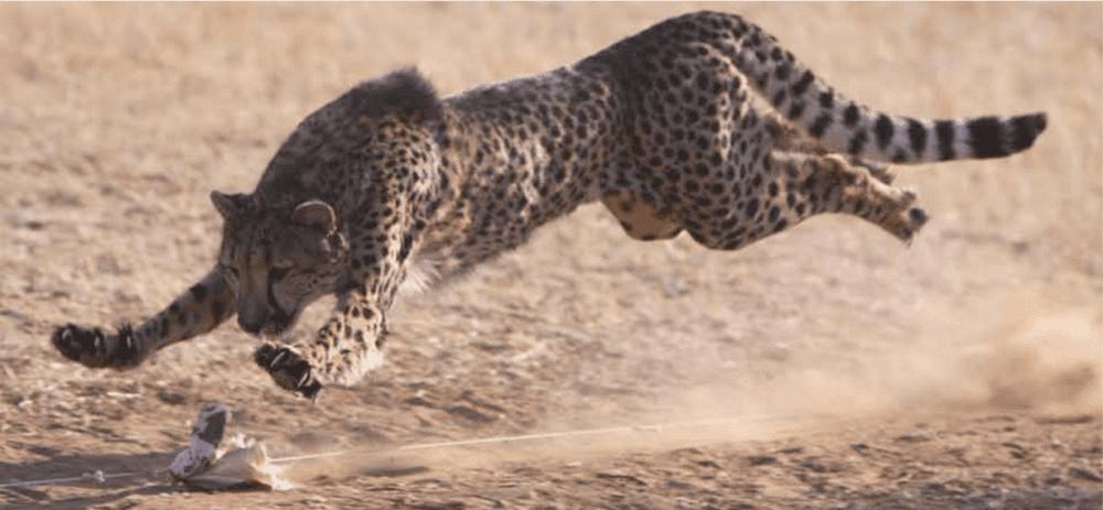 Cheetahs Need to Run Regularly