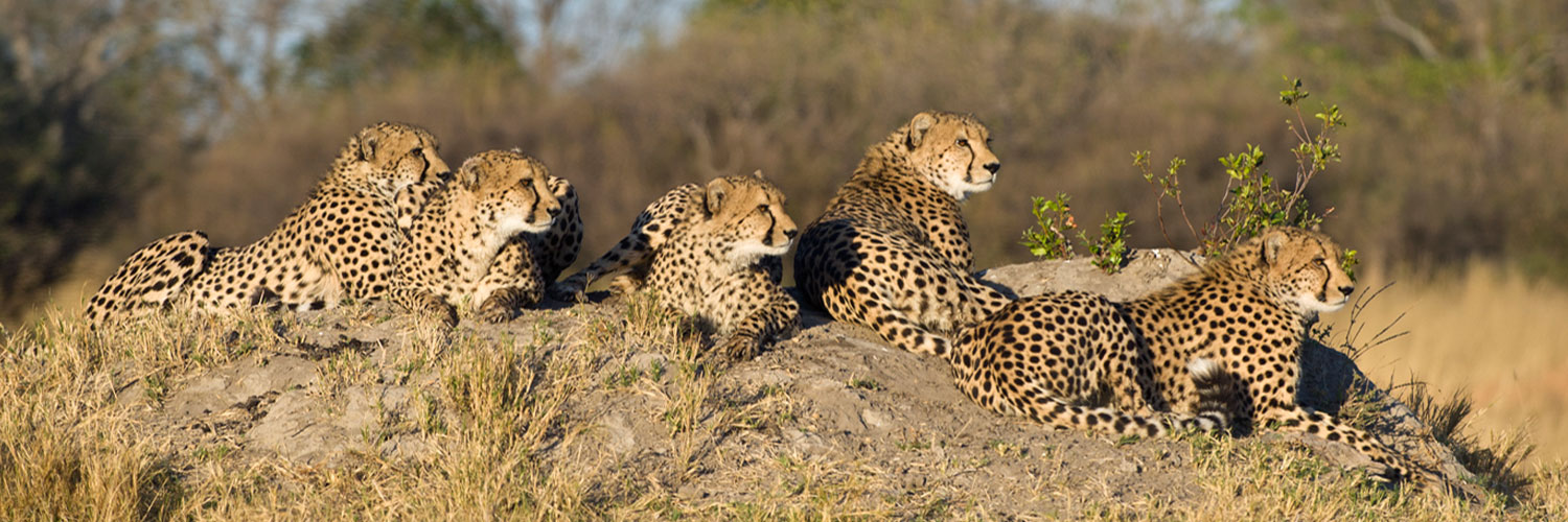 Why is the Cheetah Threatened?