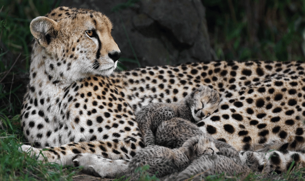 What is the Key to Cheetah Cubs' Survival?