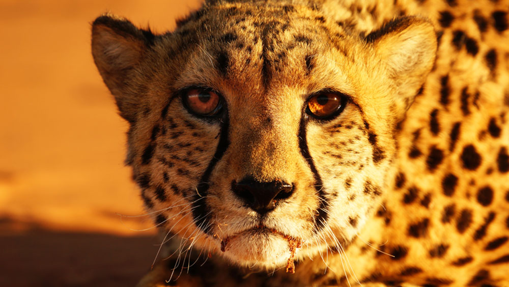 How Conserving Cheetahs Helps the Planet