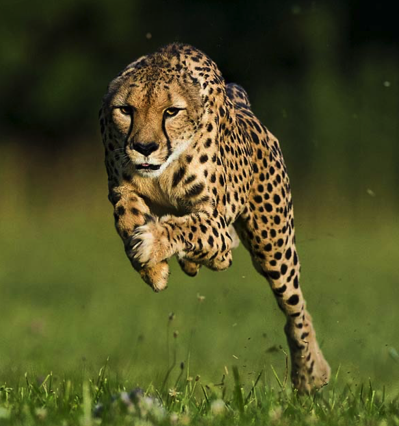 What S The Difference Between Cheetahs And Other Big Cats Cheetah Conservation Fund Canada