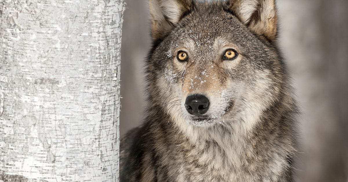 Destroying an Apex Predator Can Kill an Ecosystem