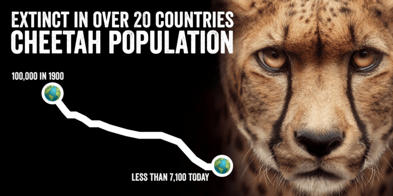 Cheetah Numbers are Declining: A New Report Intensifies the Challenge