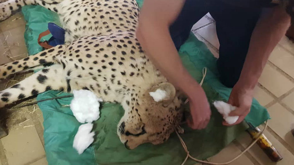 Cheetah Conservation Fund Continues Work Despite COVID-19 Closures