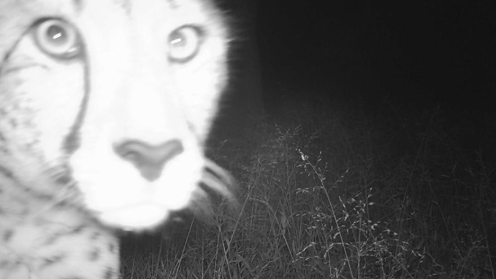 Cheetahs and Hyenas on CCF's Camera Traps