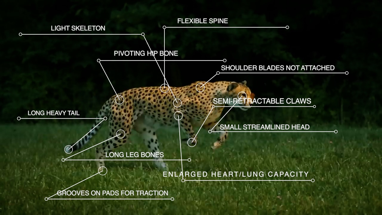 How is the Cheetah Skeleton Different from Other Cats?