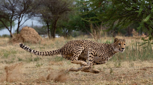 Why Do Cheetahs Hunt During the Day?