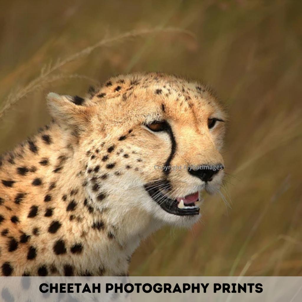 Cheetah Photography Prints