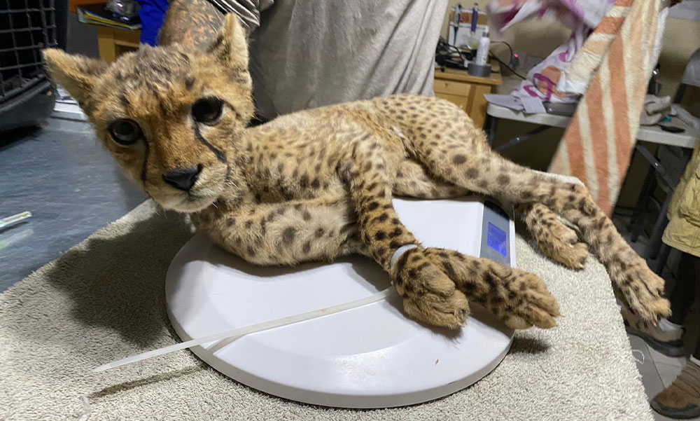 A notable decline in cub poaching in Somaliland