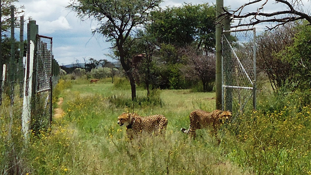 Two Female Cheetahs (Luna and Xena) Released in Bellebenno Training Camp