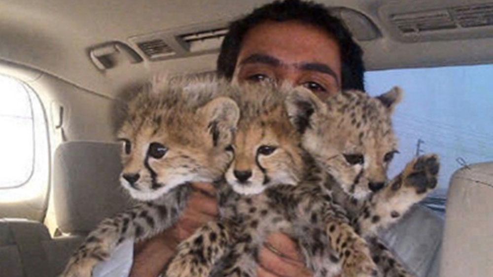 UAE Bans Cheetahs as Pets
