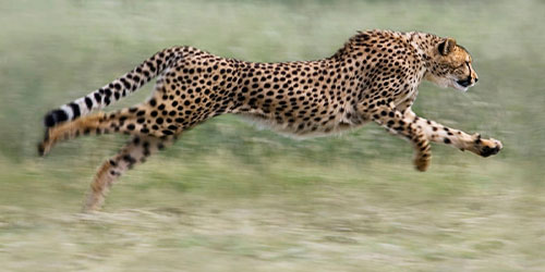 Homepage • Cheetah Conservation Fund
