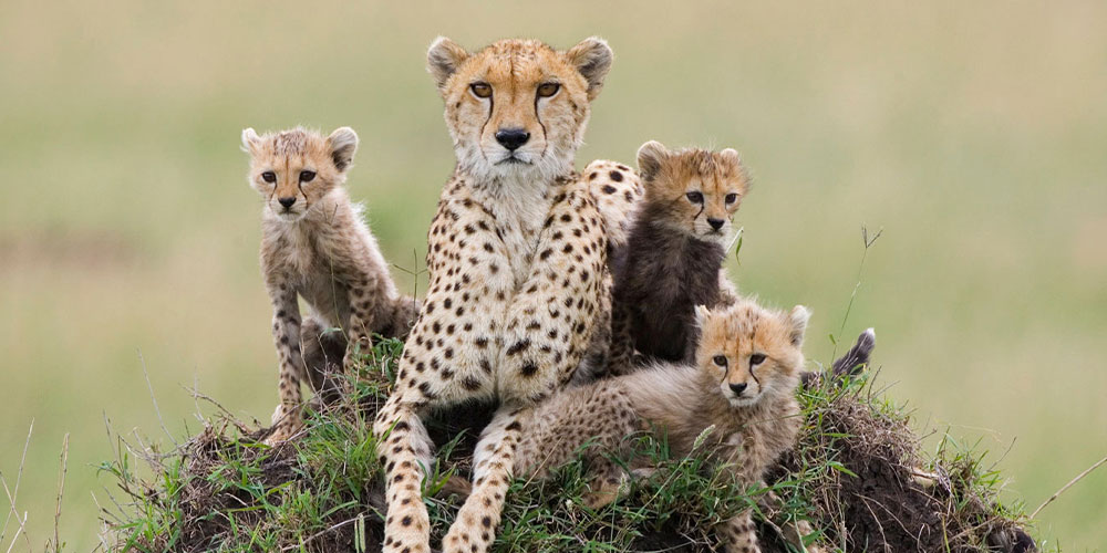 Cheetah mother and cubs on termite mound