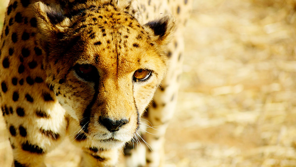 Tracking Carnivores with Your Phone