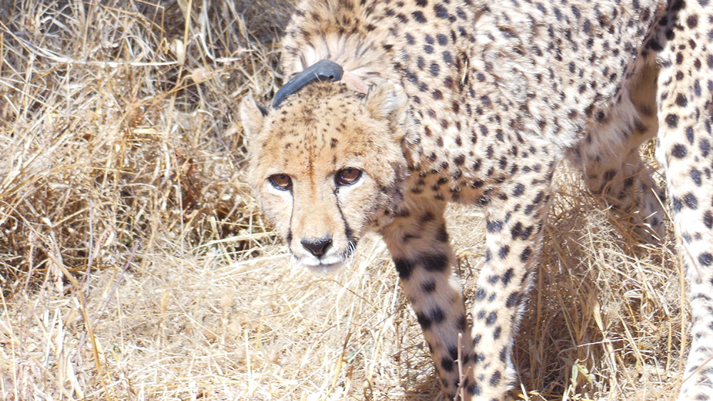 Researching Released Cheetahs
