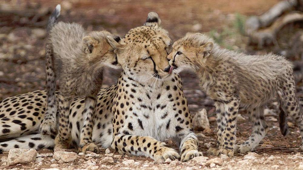 Jacomina's Cubs: Shandy and Savanna
