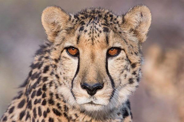 Ways to Give - CCF's Resident Cheetahs