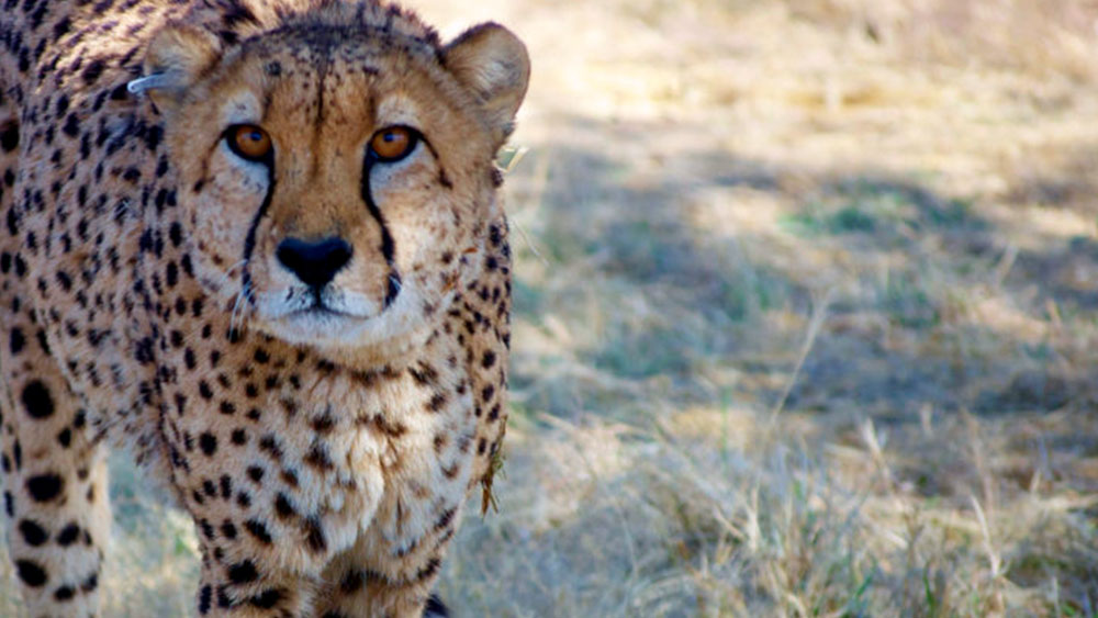 Cheetah Transfer: The Scientists