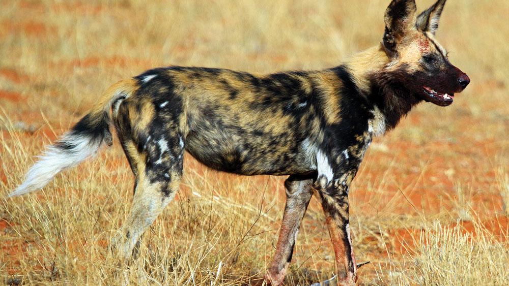 African Wild Dog Update