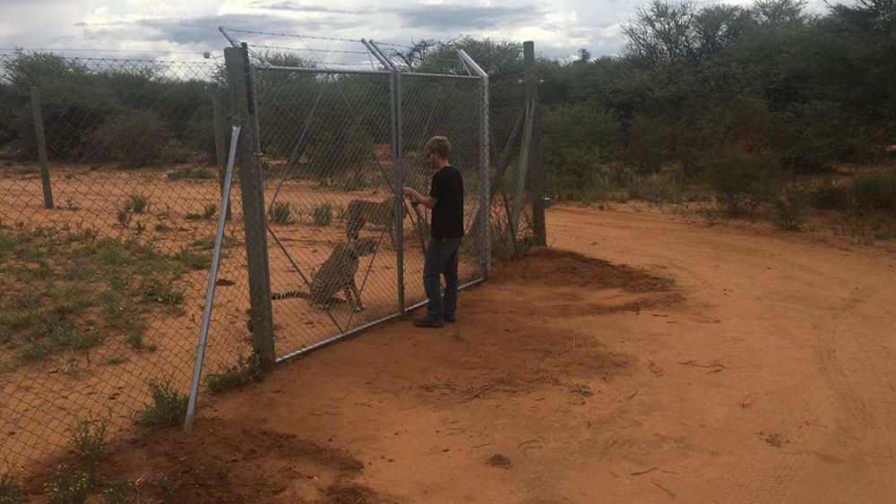 Cheetah Release – Four Cheetahs Returned to the Wild