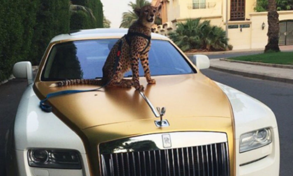 Illegal Pet Trade - Cheetah on the hood of a luxury car