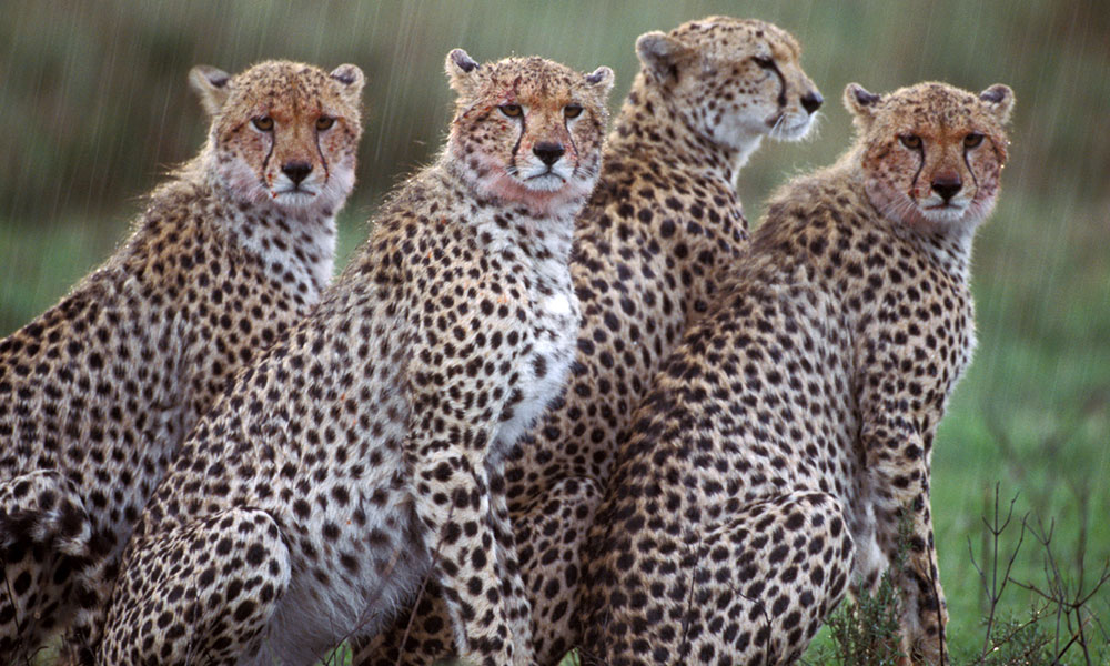 About Cheetahs - Male coalition in the rain