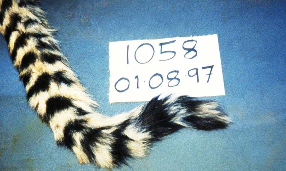 About Cheetahs • Cheetah Facts • Cheetah Conservation Fund •