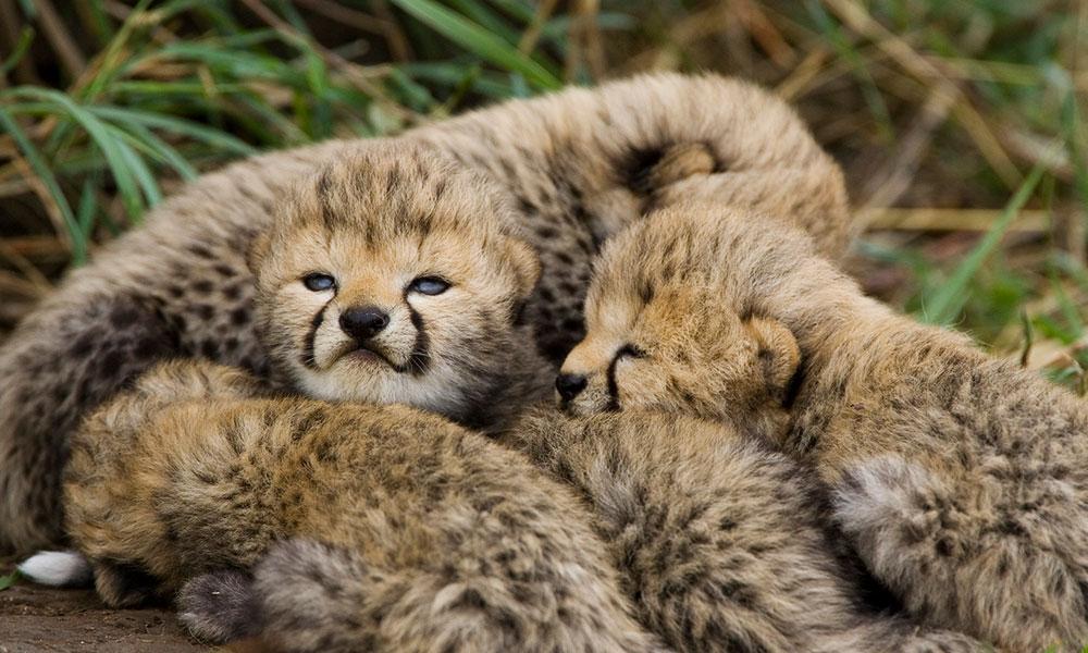 About Cheetahs - Cubs