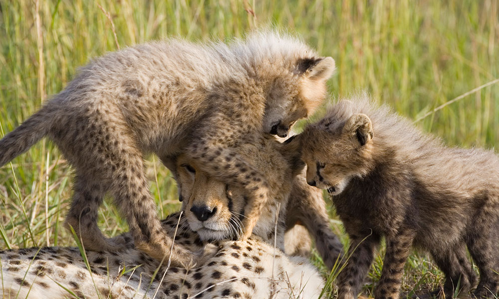 About Cheetahs - Mother cheetah and cubs in the grass