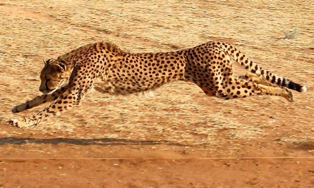 About Cheetahs - Running