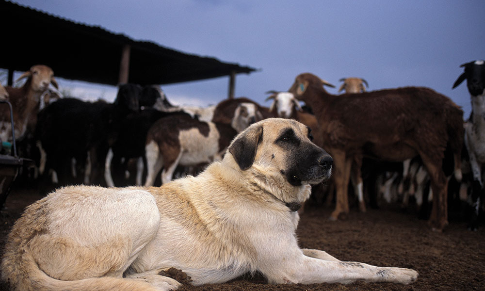 Human Wildlife Conflict - A Livestock Guarding Dog with its flock of goats