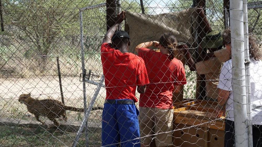 Cheetah Cub Relocation