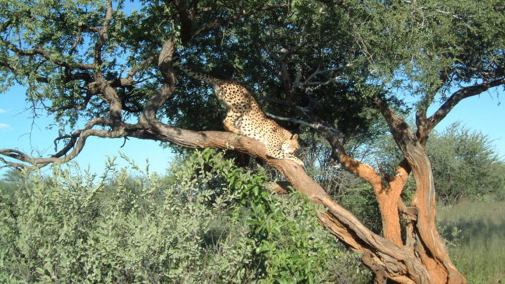 A Cheetah's Favorite Spot