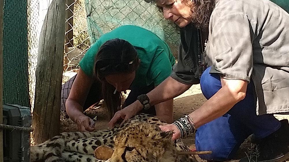 Update on Resident Cheetah Sandy