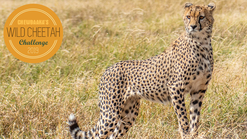 Chewbaaka's Wild Cheetah Challenge Has Begun! Double Your Gift to the Cheetahs.