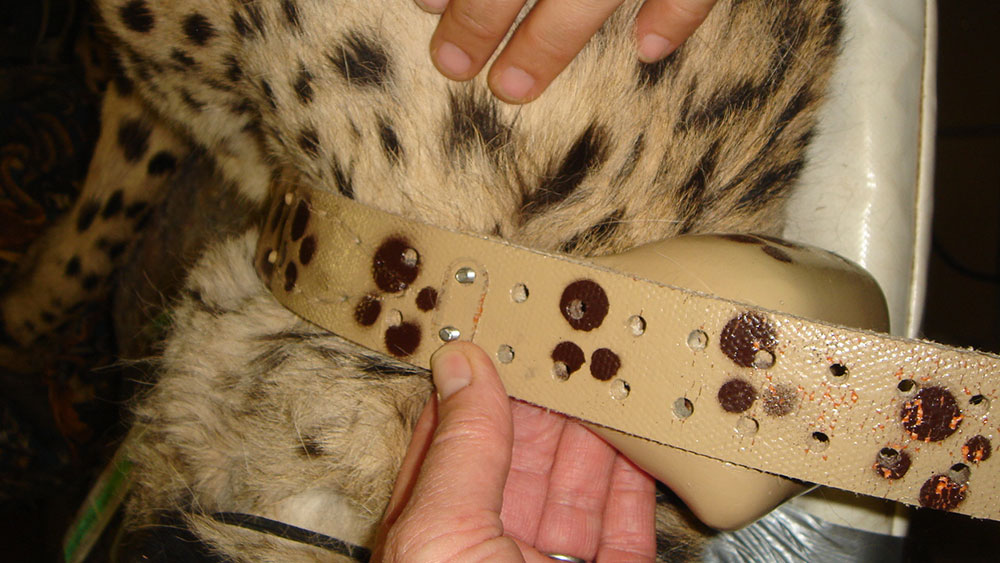 Collared Cheetah – Tracking Cheetah Behavior