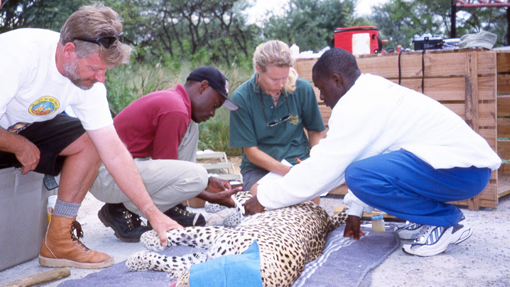 Cheetahs… and an Unexpected Leopard