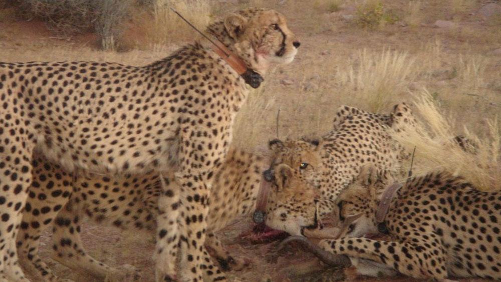 Cheetahs at NamibRand Get Some Female Company