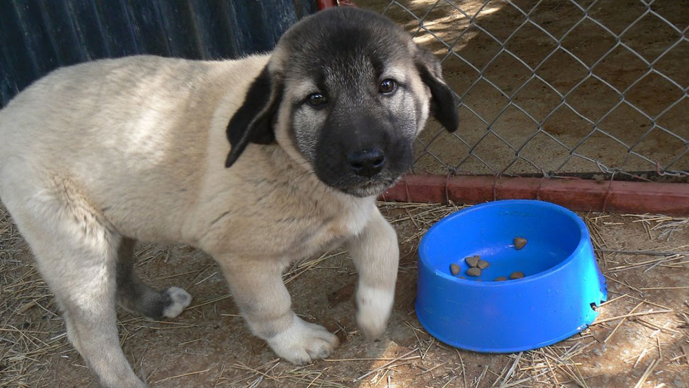 Spots is CCF's New Livestock Guarding Dog from SPOTS in Holland