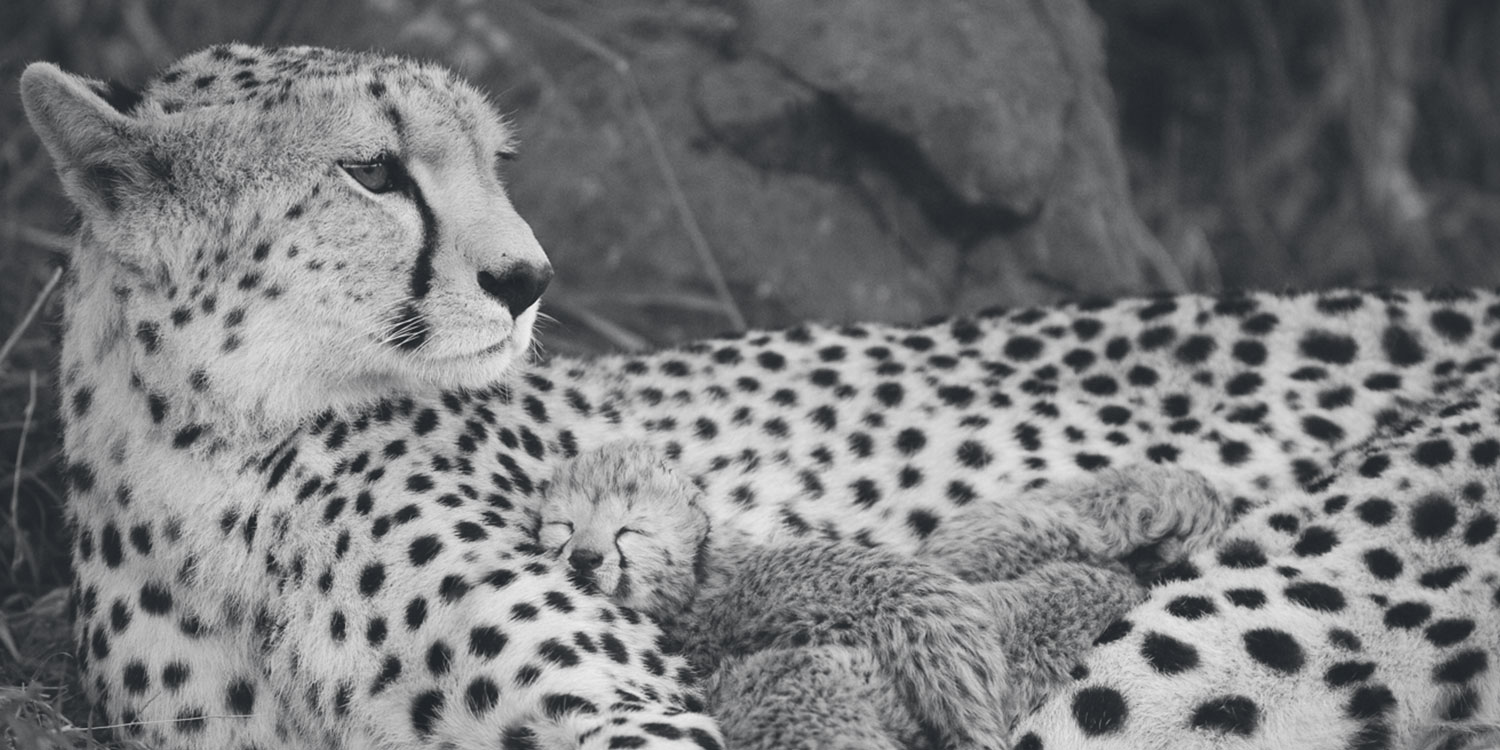 Cheetah Conservation Fund, cheetah cubs with mother