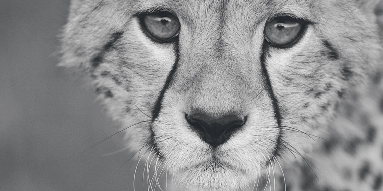 Cheetah Conservation Fund, cheetah up close