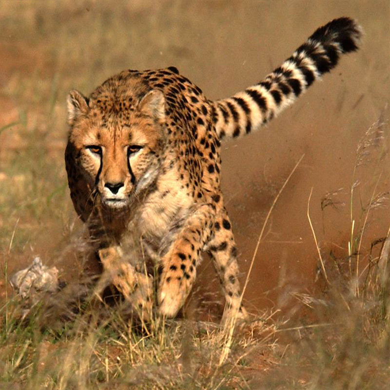 Cheetah Facts for Kids • Cheetah Conservation Fund