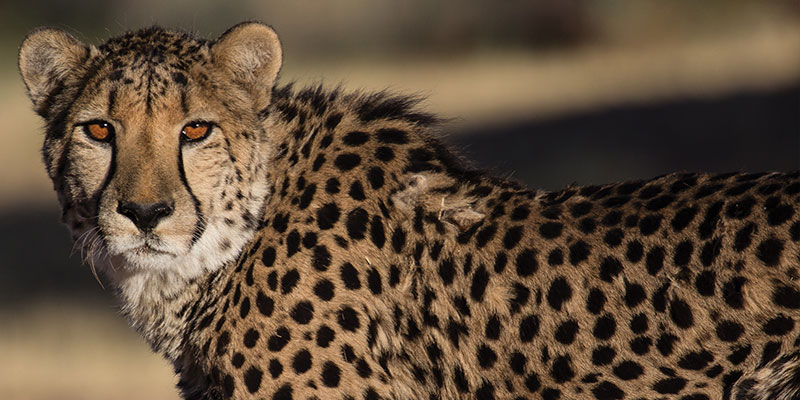 Cheetah Conservation Fund Annual Reports