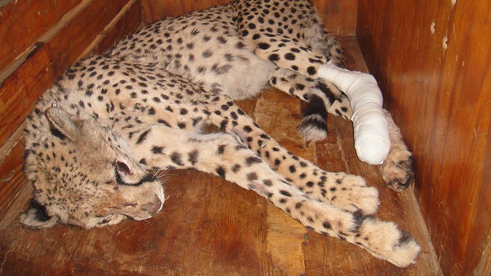 Back in Namibia! Cheetah Toe Surgery and Updates