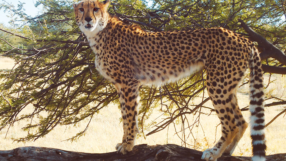 Cheetah Play Trees