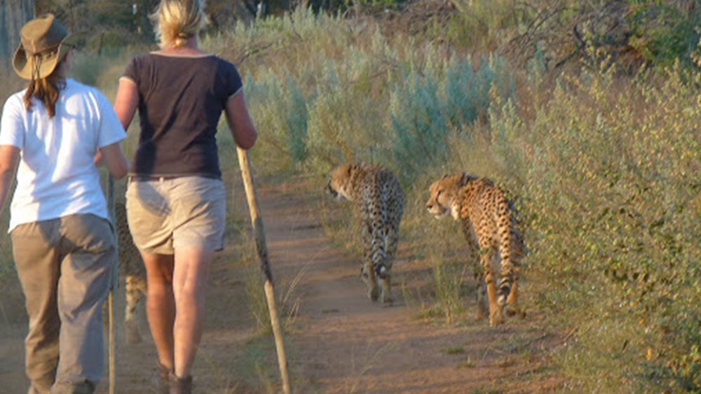 Another Cheetah Release Underway – The Scientists