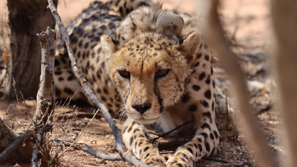 Updates on Released Cheetahs in Erindi Private Game Reserve
